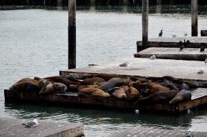 Lions de mer au Pier 39